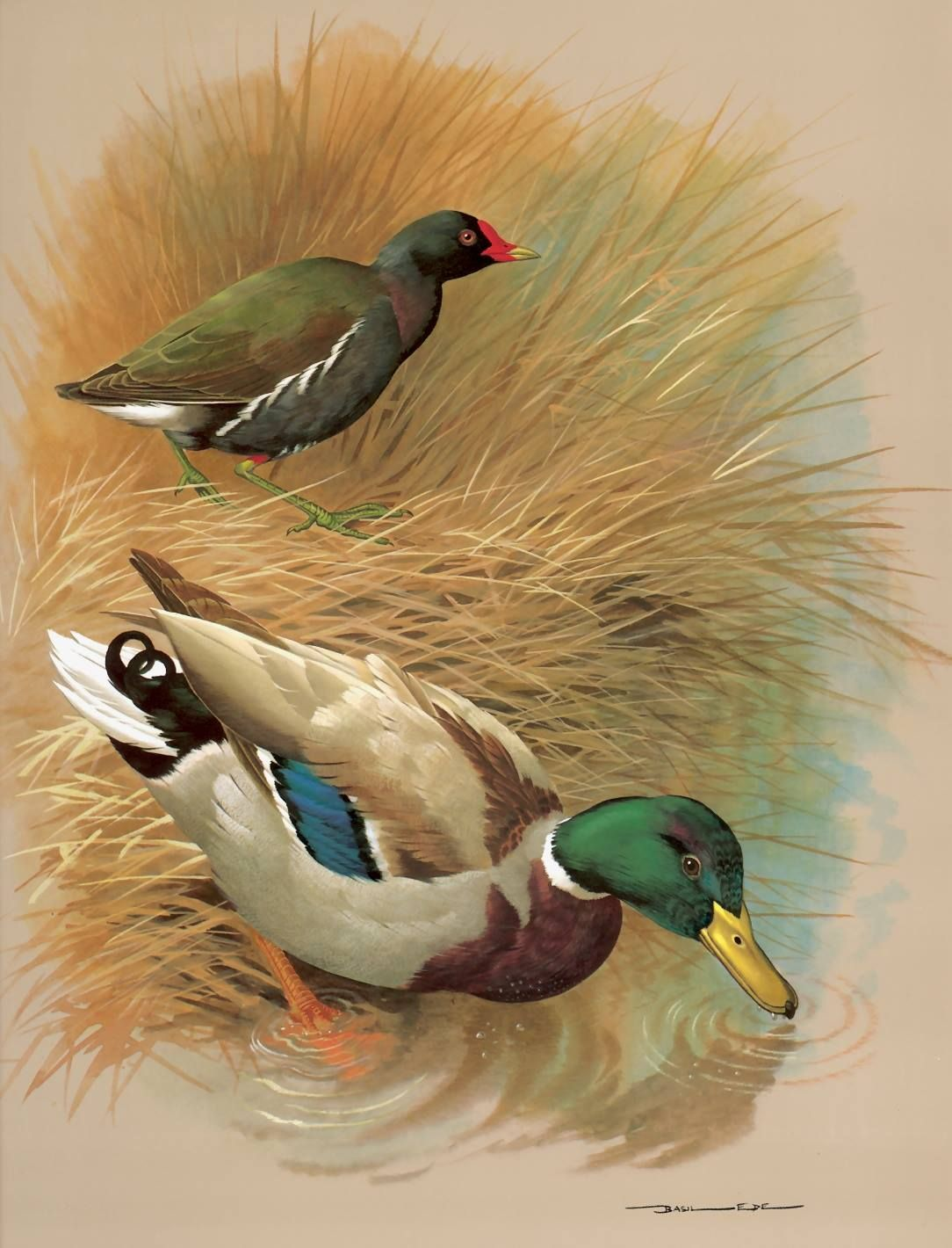 moor hen and mallard duck a painting by basil ede basil ede born