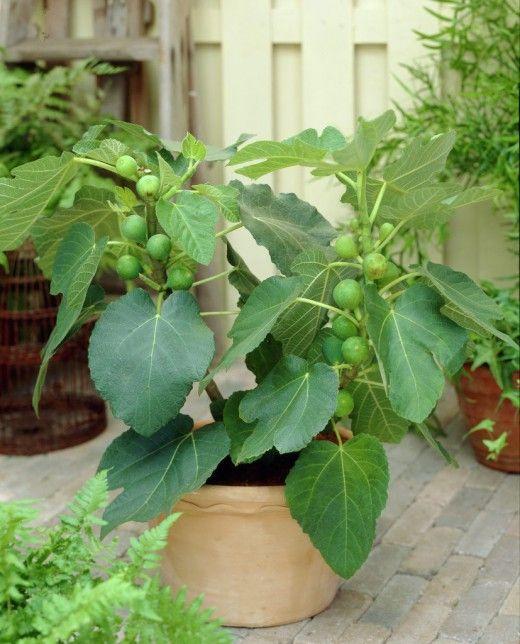 Jardineria plantas y decoracion for Decoracion de jardines con arboles frutales