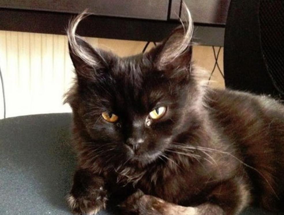 Meet The Demon Cat That Broke Japan's Internet [UPDATE] | Evil cat ...