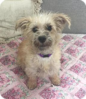Phoenix Az Cairn Terrier Poodle Miniature Mix Meet Mini A