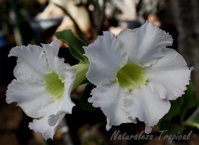 Variedad blanca de la flor de la Rosa del Desierto, Adenium obesum