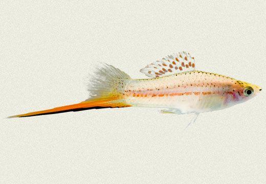 Swordtail Aquarium Fish Tropical Fish Aquarium Swordtail Fish