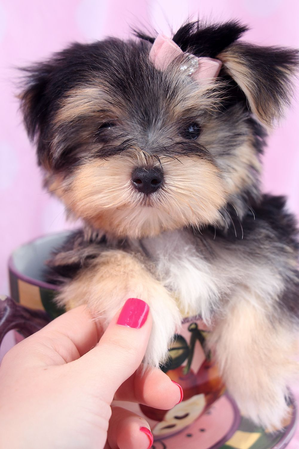 Adorable morkie puppies for sale in south florida morkie