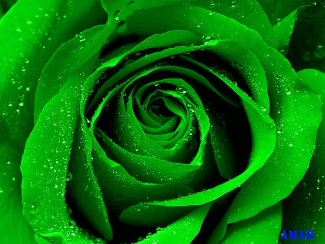 Tumblr M01f4fvpzj1rq6bl7o1 1280 Green Rose Rose Wallpaper Green Aesthetic