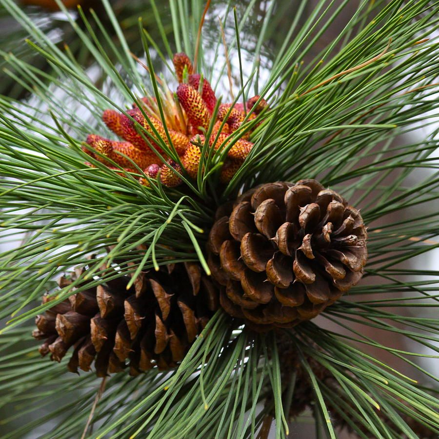 Pine cones would be challenging maybe acrylic art for How to paint pine cones for christmas