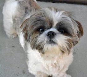 Adopt Puppy Mill Raid Allegan On Shih Tzu Dog Shih Tzu Dogs