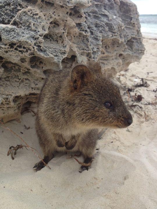 Rottnest Island Quokka Animals Wombat
