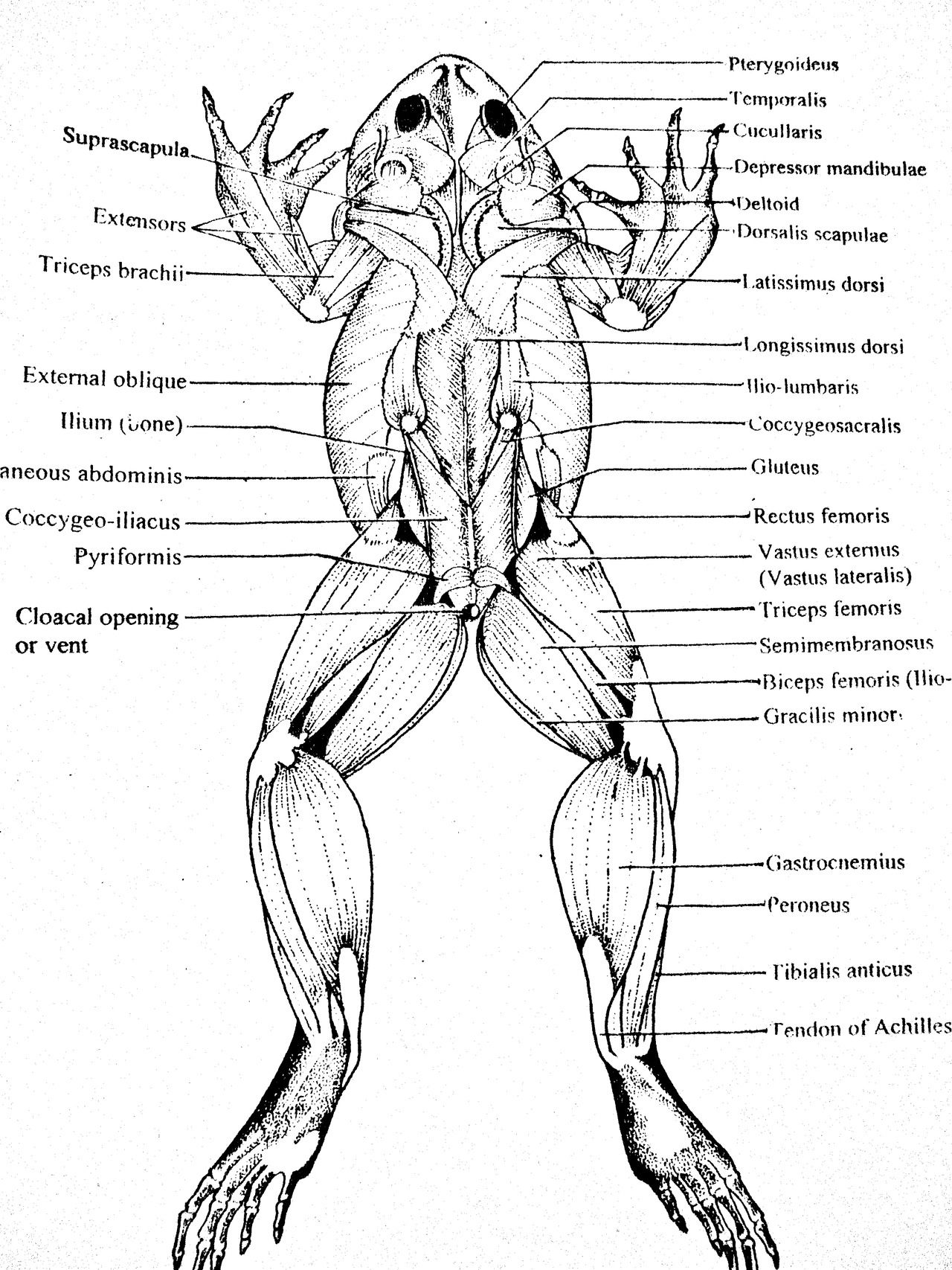 Frog Muscles Labeled Dorsal Muscles Parts Of A Frog Image Frog Rh Anatomyhumancharts Com Frog Dorsal Side Of Muscly Frog Frog Dissection Frog Or Toad Frog