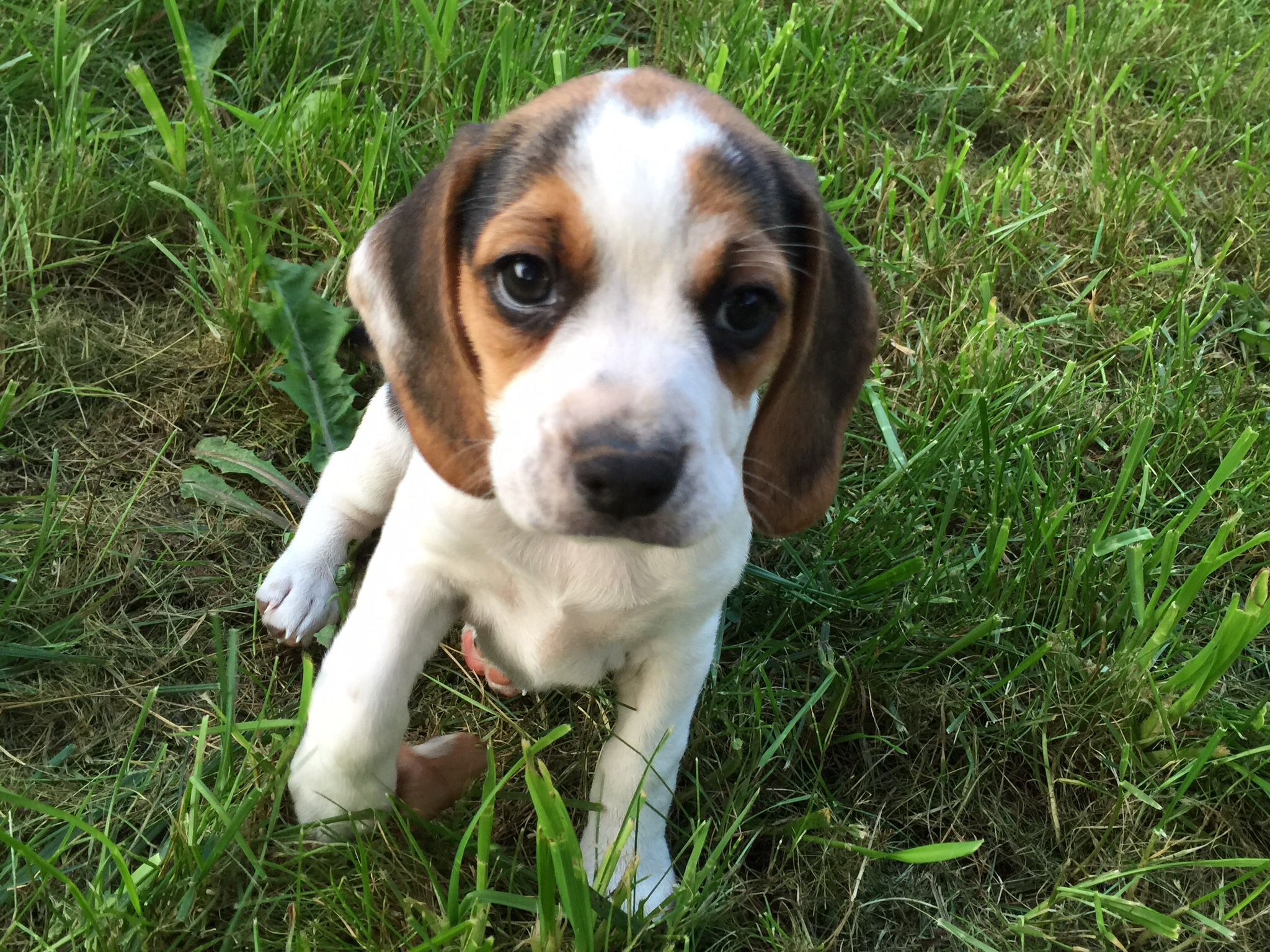 Www Pocketbeagleny Com Mini Beagle Puppy Pocket Beagles Beagle