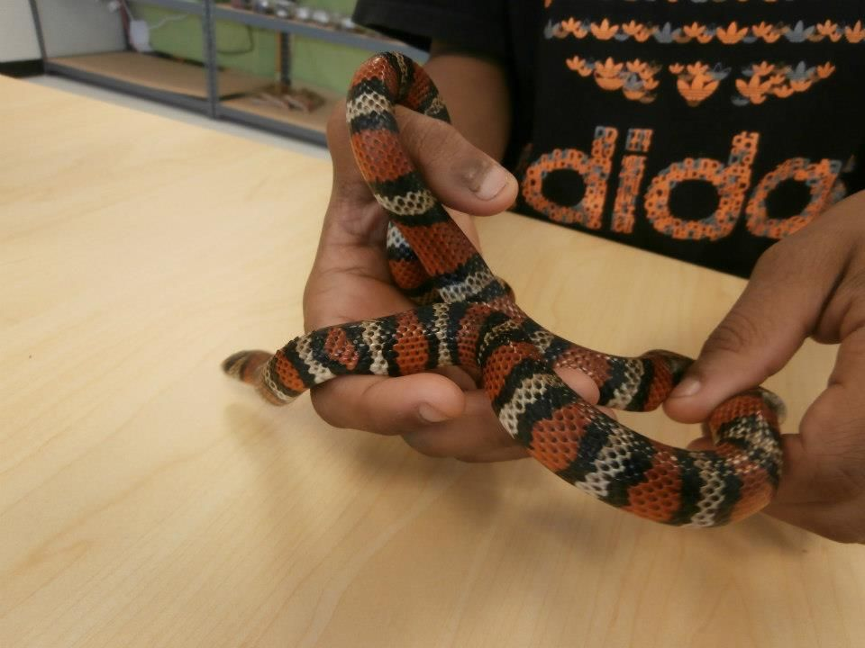 Andean Milk snake On sale now ~ $75!! | PetTiles | Reptile