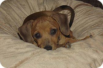 Phoenix Az Dachshund Meet Melvin A Puppy For Adoption Http