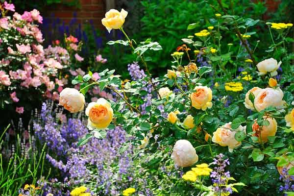 From Blah Lawn to Backyard Rose Garden Paradise | Shrub, Gardens and ...