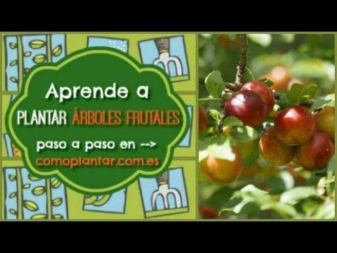 C mo plantar rboles frutales arboles frutales pinterest arboles planta huerto y plantar - Como plantar arboles frutales ...