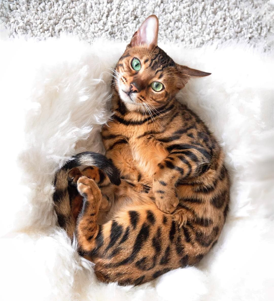 Don T Just Stand There Hooman Rub My Belly Bengal Kitten Bengal Cat Cats