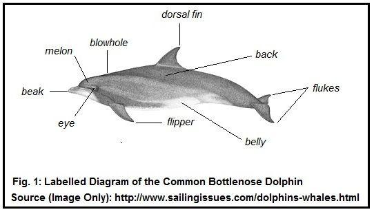 Bottlenose Dolphin Diagram  Information Schematics Wiring
