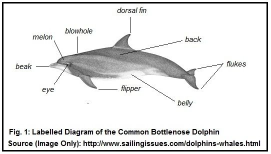 Dolphin Diagram Google Search Marine Life Pinterest Diagram