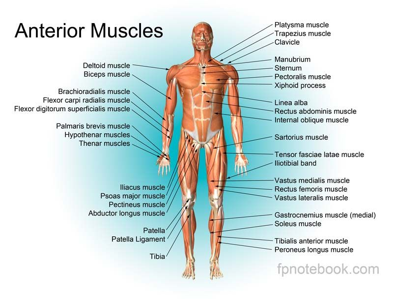 Anterior Upper Body Muscles Anatomy Trigger Points Pinterest