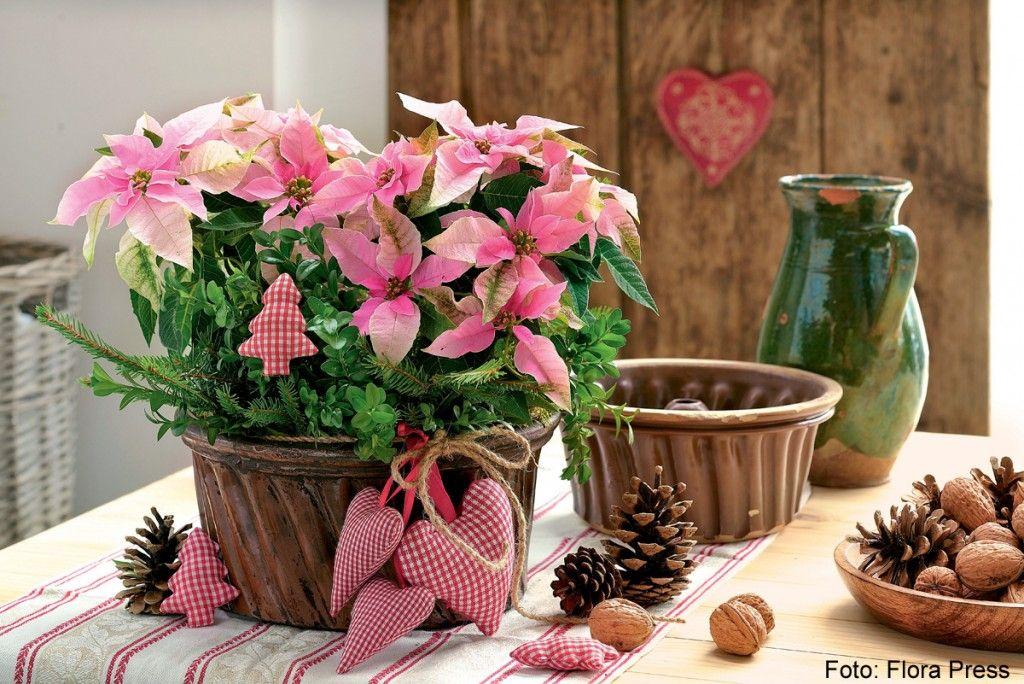 Rosafarbener weihnachtsstern in antiker kucheform foto florapress wohn und bastel ideen - Weihnachtsstern dekorieren ...
