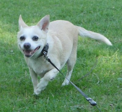 Image Result For Rat Cha Hybrid Dogs