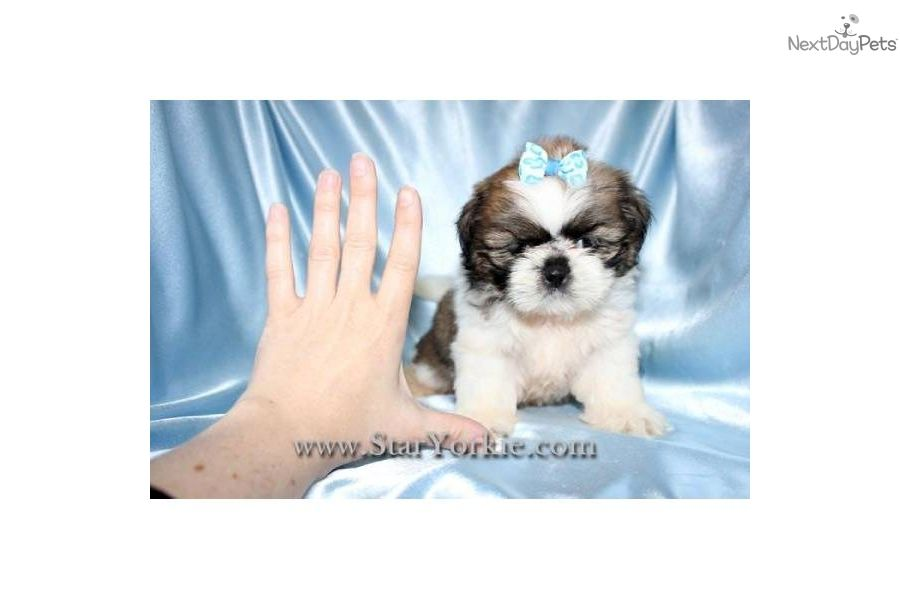 Tiny Teacup Shih Tzu Puppies Available Now Havanese Puppies For Sale Shih Tzu Puppy Havanese
