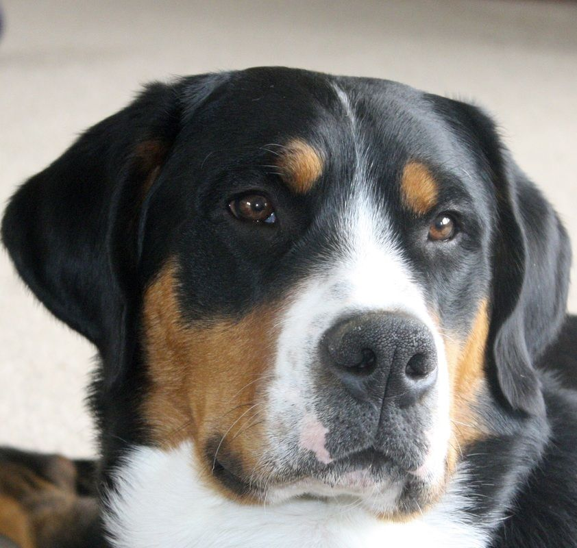 Guinness Cornerstone Greater Swiss Mountain Dogs Great Swiss