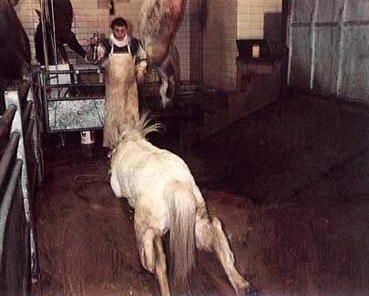 Schlachthof Pferde