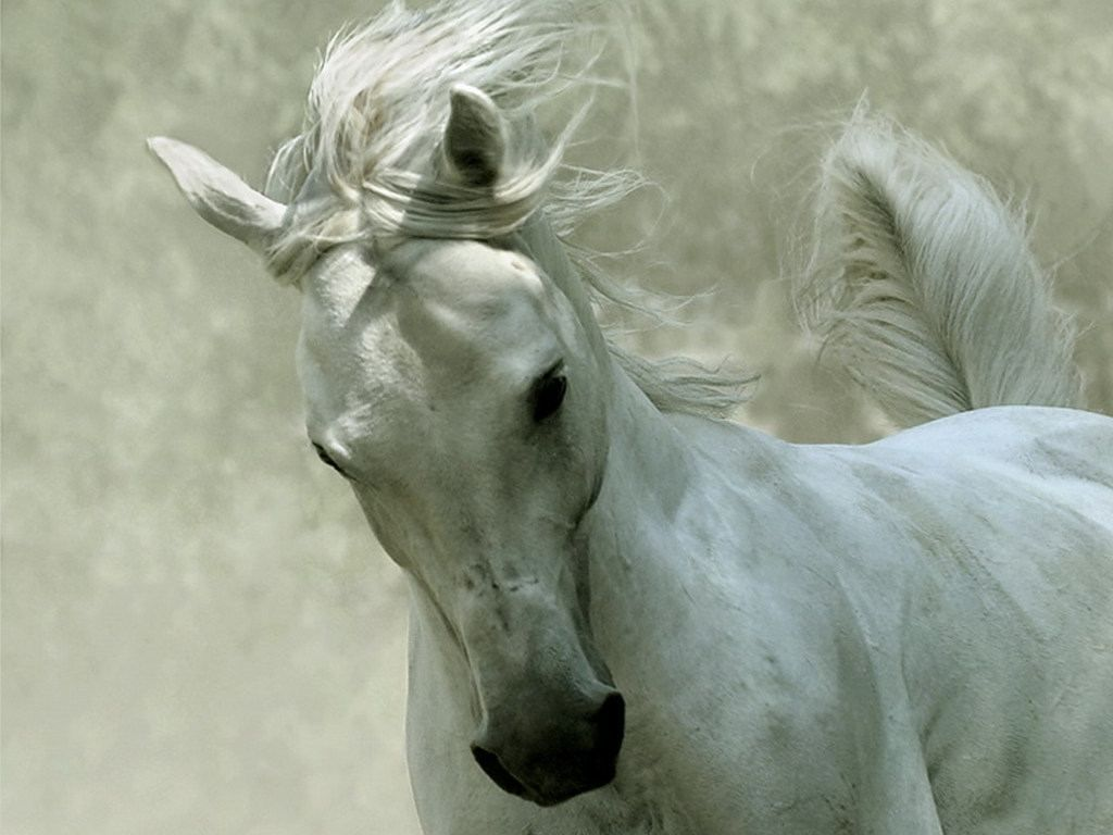 unusual images of horses | labels: white horses wallpapers , zoo