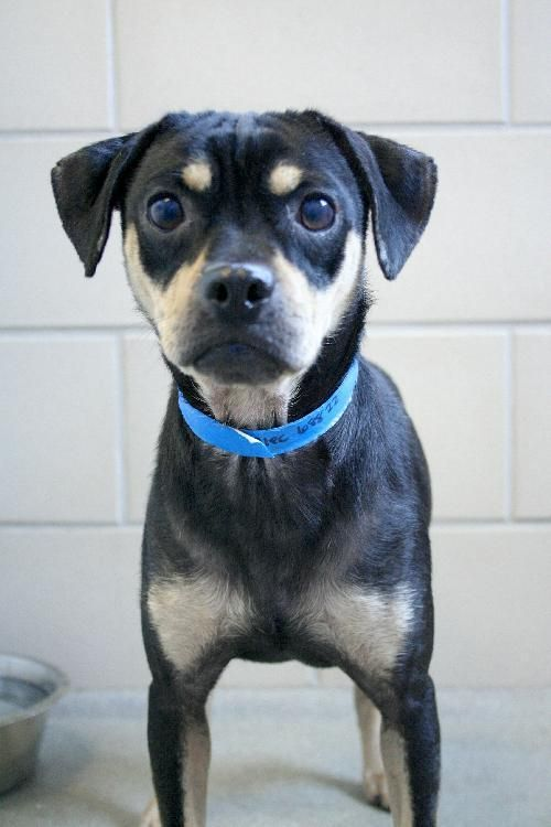 Adopt Alec on Rottweiler dog, Adoptable beagle, Animals