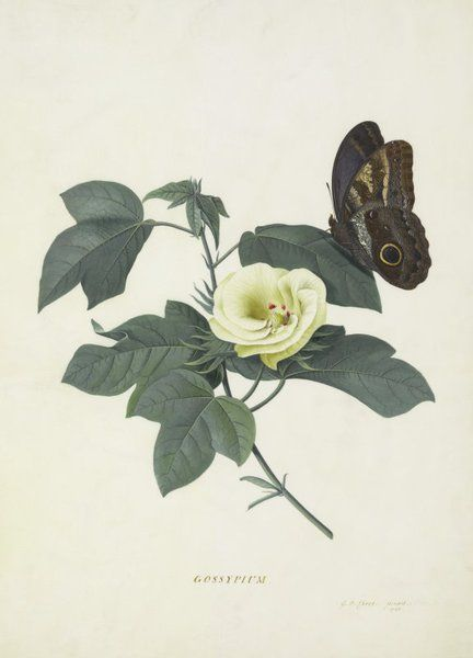 Bon Gossypium   Georg Dionysius Ehret   Kew Gardens Botanical Prints   Kew  Botanical Prints