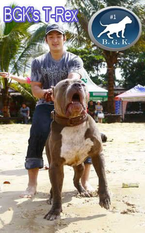 Big Gemini Pitbulls Largest Xl Bully Pitbulls Huge Blue Pitbull