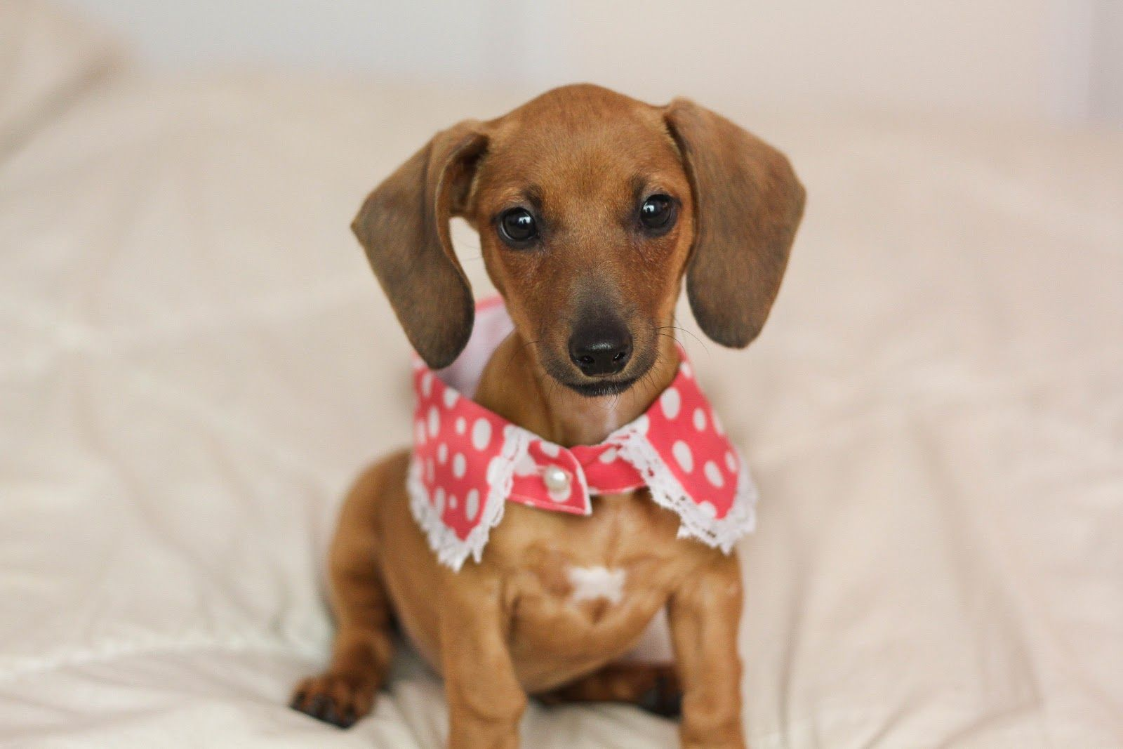 {peter pan puppy} Claude modeling some vintage collars!