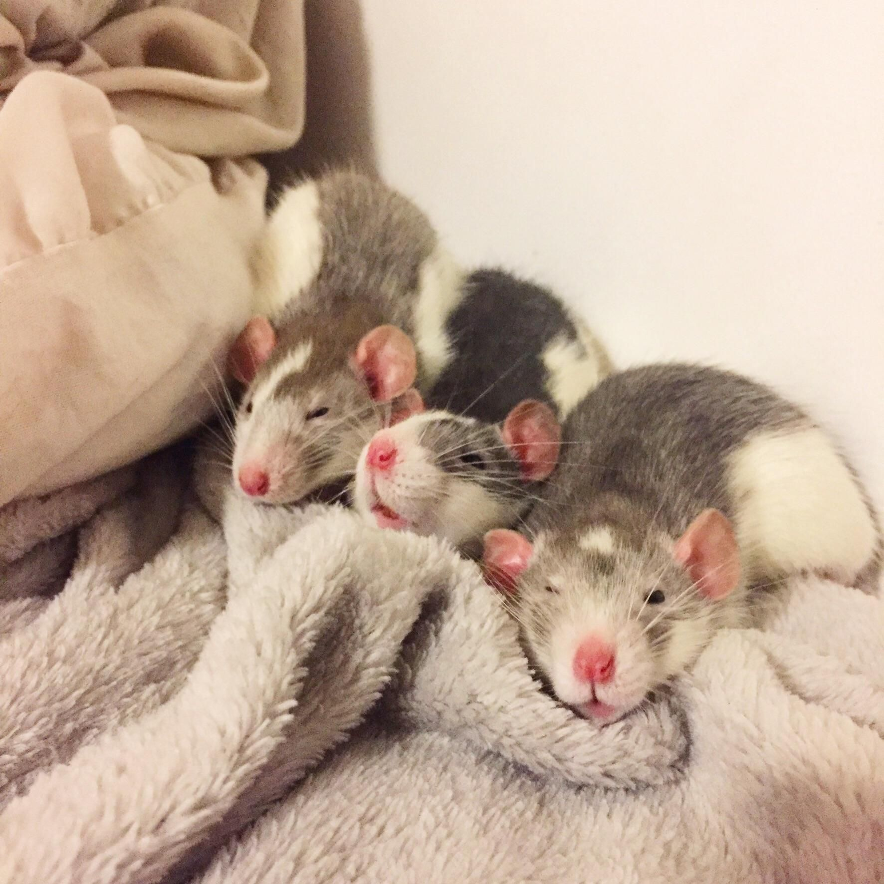 Pin de happyberry en animals ii opossums rats mouses for Muebles seres