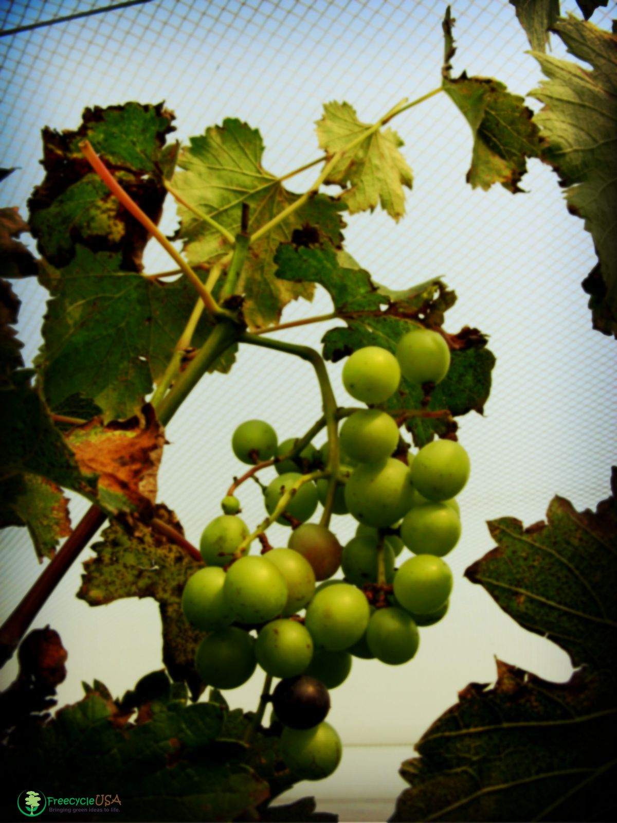 Growing grapes: a selection of sites