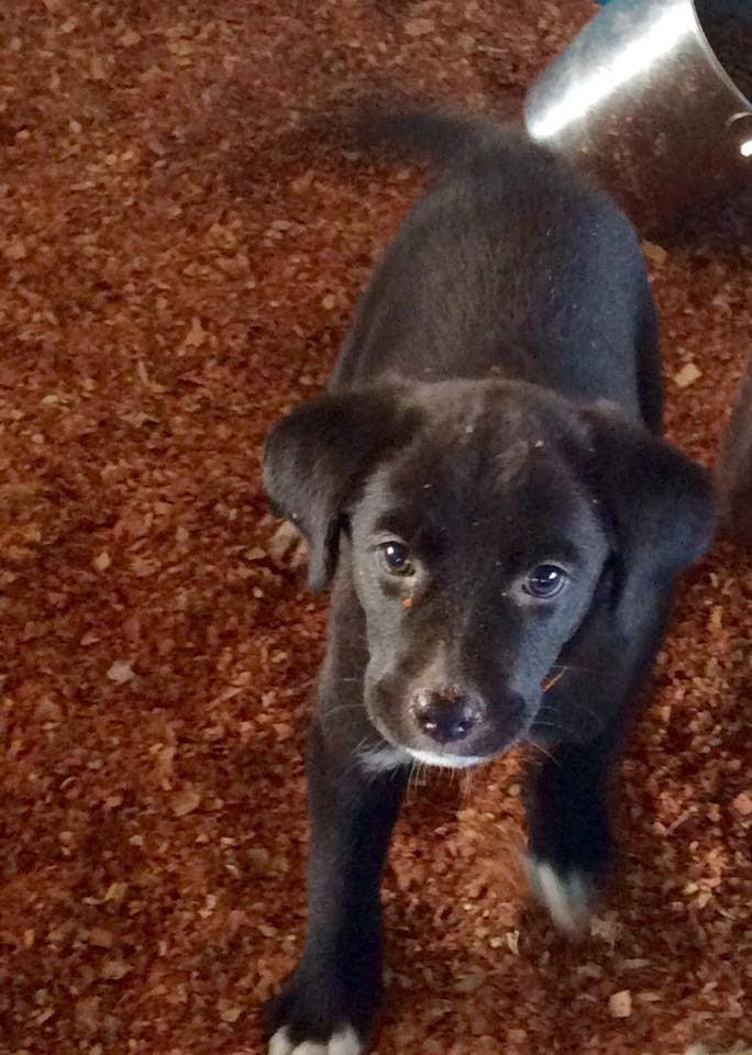 4 Black Lab Mix puppies with Florida Pointer Rescue for