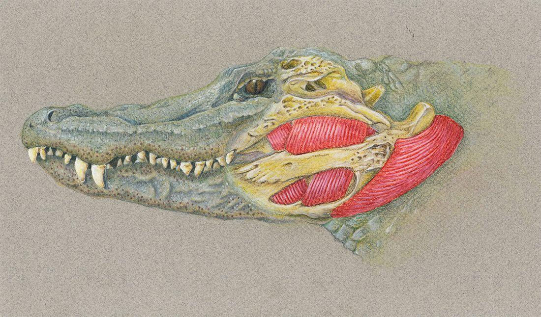 American Alligator Skull Anatomy on moth anatomy diagram ...