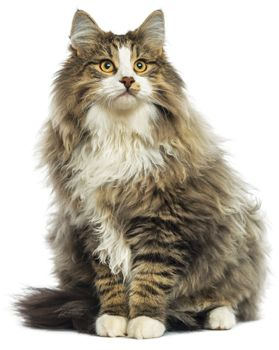 Uncommonly Unique Cat Breeds Forest Cat Norwegian Forest Cat Cats