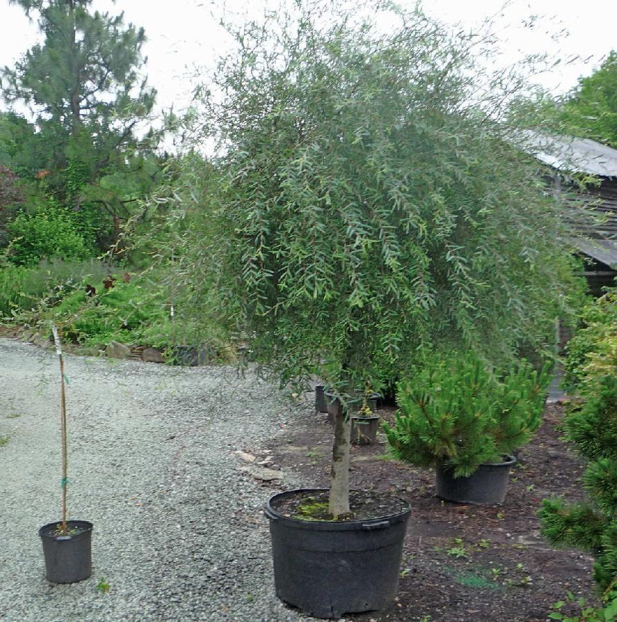 Image Result For Purple Osier Willow Garden 1 Plants