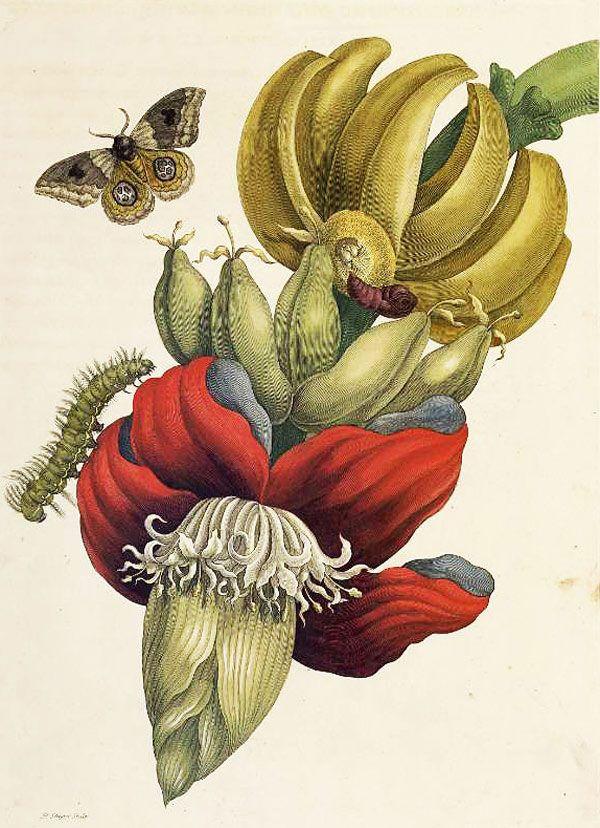 Удивительные картины Марии Сибиллы Мериан. Картинки для ...