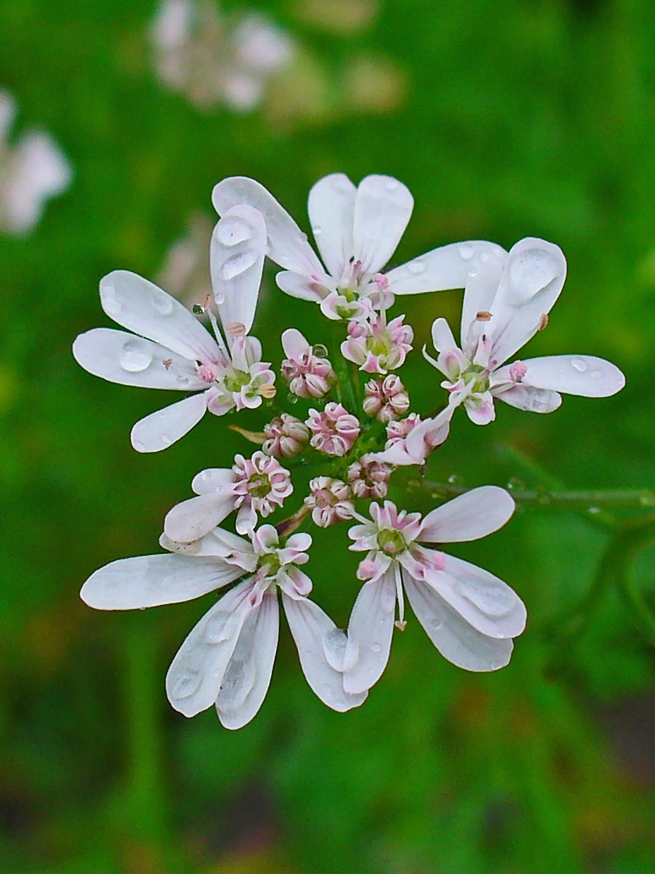 Eating From Stem To Tip What To Do With The Flowers And Herb Extras At The Farmers Market Good Food Coriander Flower Edible Flowers Edible Plants