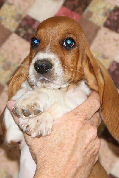 Akc Aca Basset Hound Puppies Basset Hound Puppy Basset Hound Breeders Basset Hound
