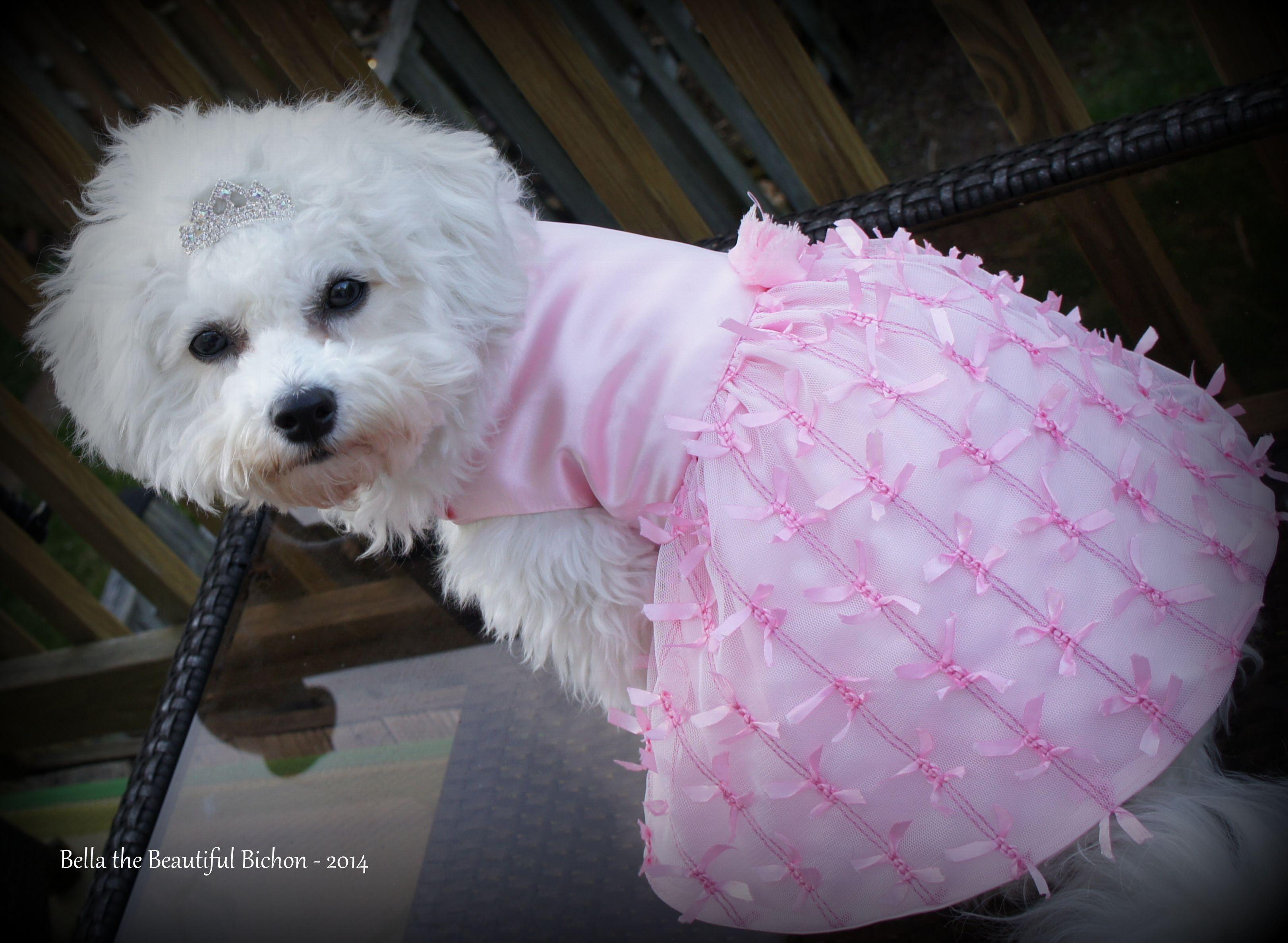 Bella Bichon in her dress from The Pink Puppy Boutique | Bichon