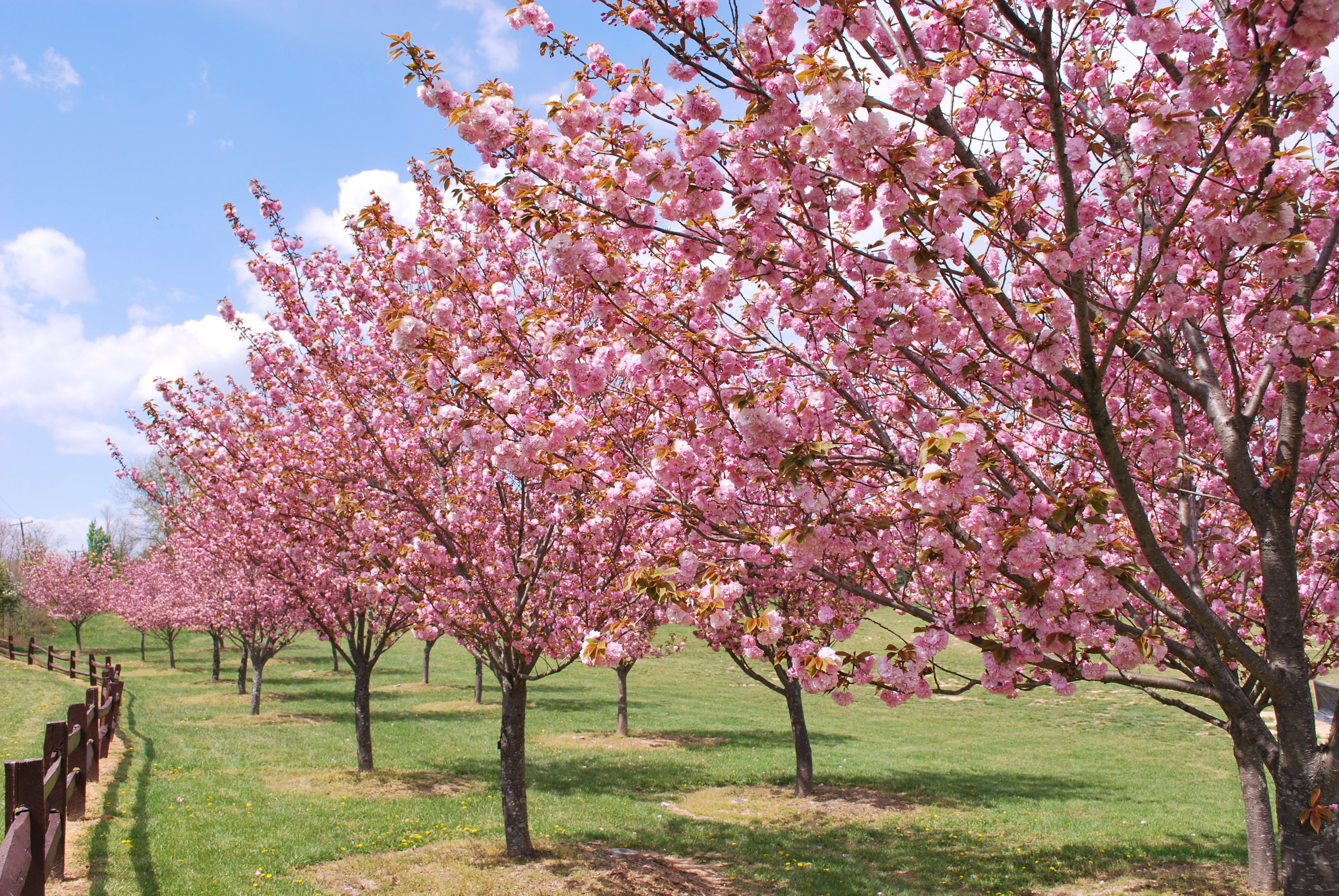 Blossoms of Hope's Founders Grove at Centennial Park