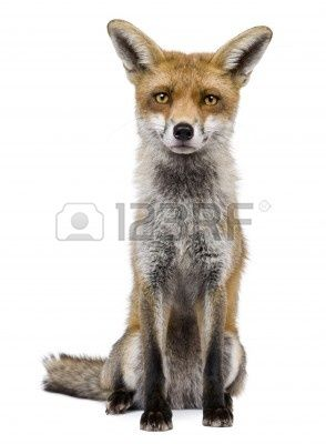7121416-front-view-of-red-fox-1-year-old-sitting-in-front-of-white-background.jpg (294×400)