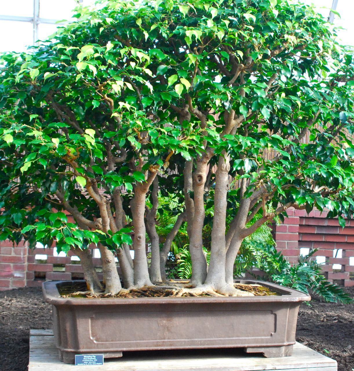 weeping fig bonsai ficus benjamina which has been in training since 1976 it was create by. Black Bedroom Furniture Sets. Home Design Ideas