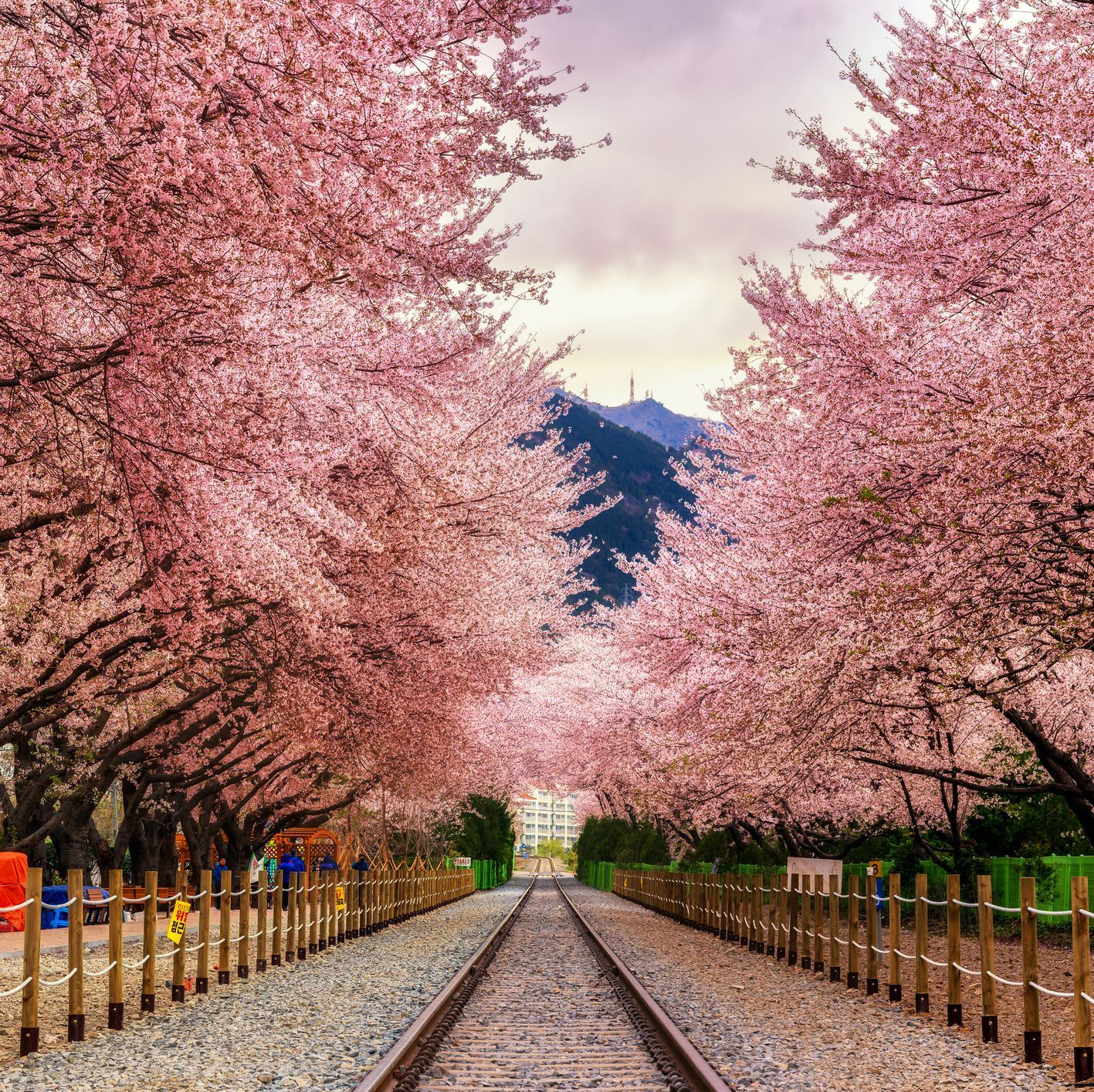 The Best Places To See Cherry Blossoms Around The World Places To See Most Beautiful Places Incredible Places