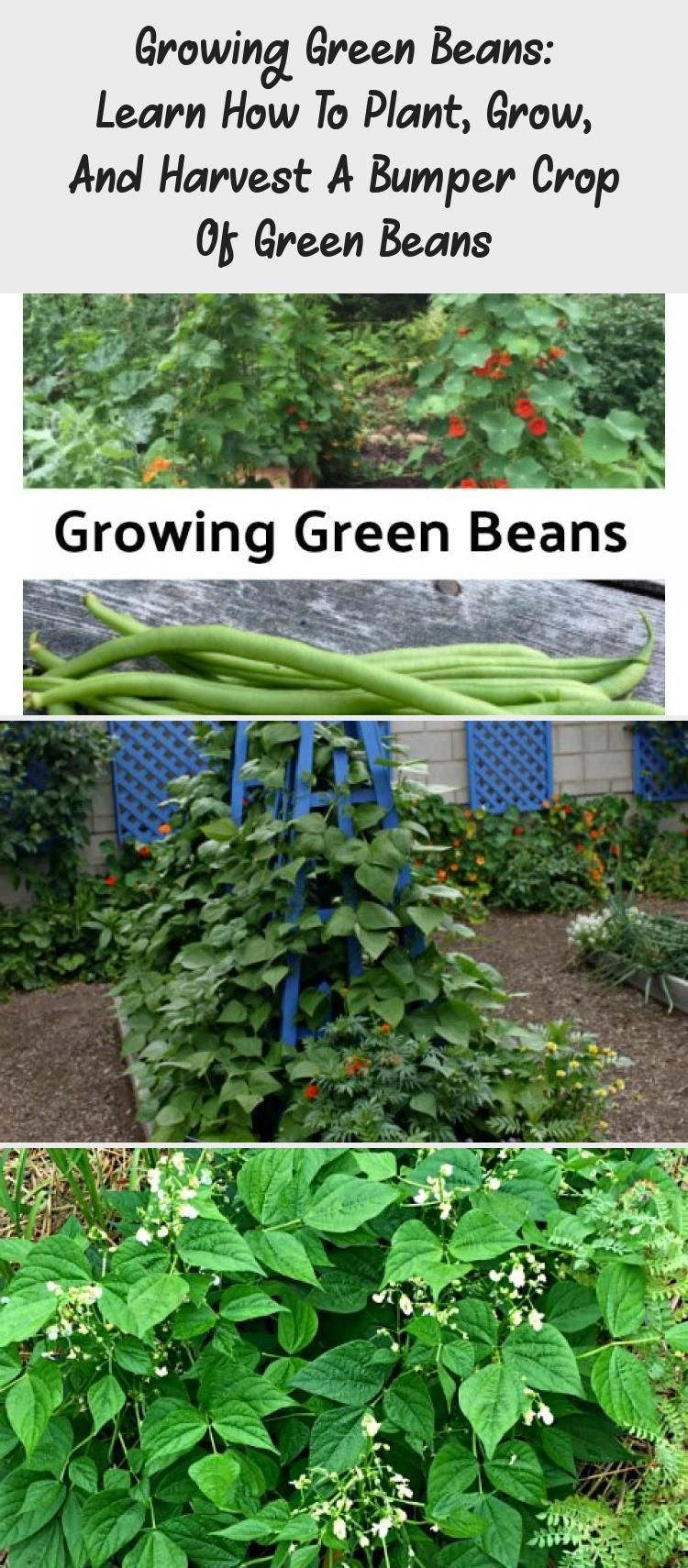 Growing Green Beans Learn How To Plant Grow And Harvest A Bumper Crop Of Gree Beans Bumper Growing Green Beans Vegetable Garden Trellis Growing Greens