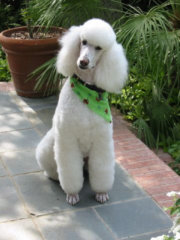 P Is For Poodle Caniches Estandar Perros Caniches Cachorros Poodle