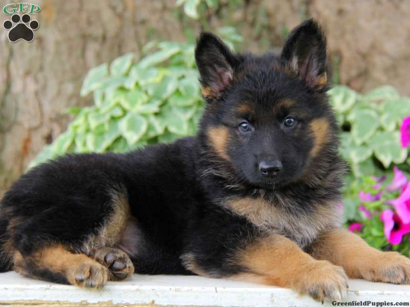 Emmett German Shepherd Puppy For Sale In Gordonville Pa