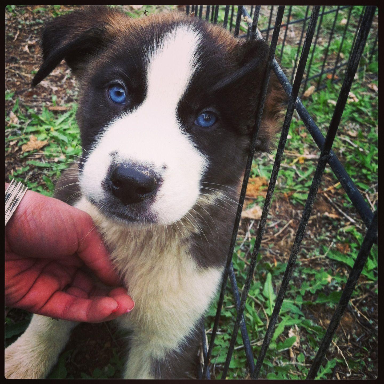 St Bernard And Husky Mix Puppy Lab Mix Puppies Cute Little