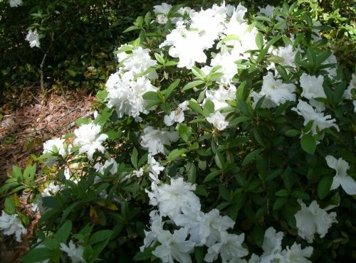White Azalea White Azalea Landscape Plants